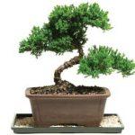 Pomysł na biznes na wsi - hodowla drzewek Bonsai
