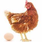 Pomysł na biznes na wsi - produkcja ekologicznych jaj